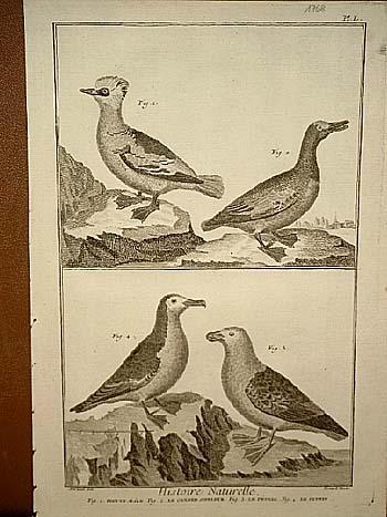 Reiherente - Schwalbe - Papageitaucher: Histoire Naturelle: Benard