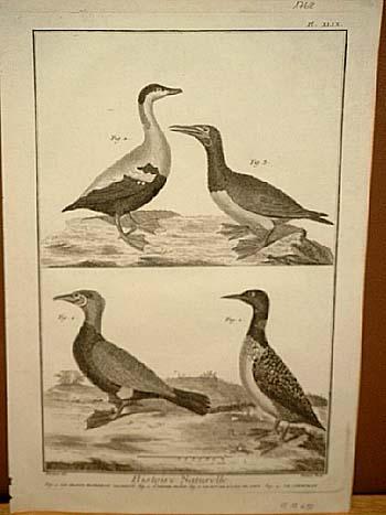 Eiderente - Kormoran: Histoire Naturelle: Kupferstich von: Benard