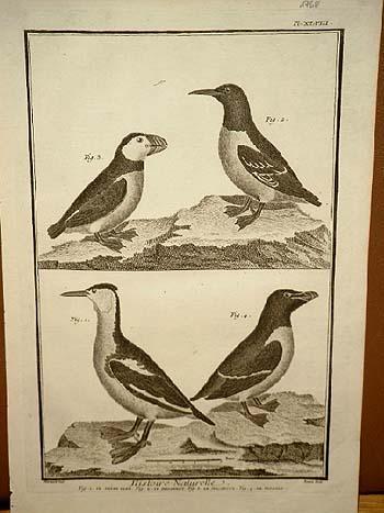 Haubentaucher - Trottellumme - Papageientaucher - Pinguin: Benard