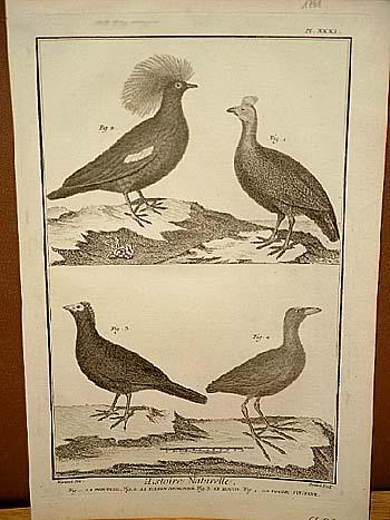 Fasan - Huhn: Histoire Naturelle: Kupferstich von: Benard