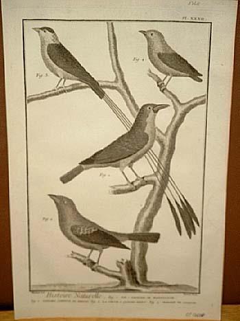Elster - Kardinal: Histoire Naturelle: Kupferstich von: Benard