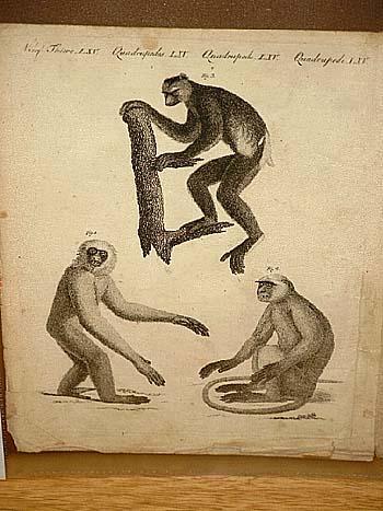 Drei Affen-Arten: Moloch - Entelle - Indri.: Bertuch, Friedrich J.