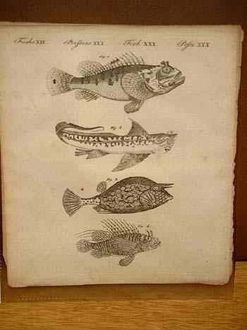 Fische von sonderbarer Gestalt: Drachenkopf - Seeratte: Bertuch, Friedrich J.