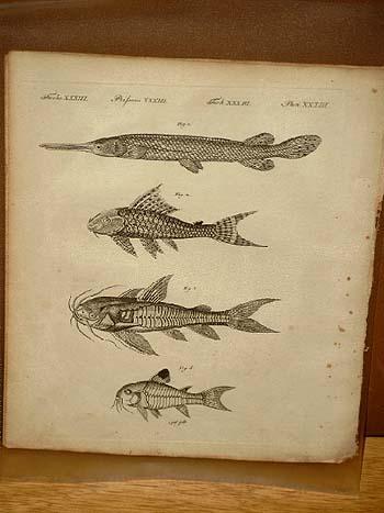 Gepanzerte Fische: Der Knochenhecht - Das Runzelmaul: Bertuch, Friedrich J.