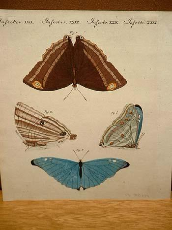 """Schmetterlinge: Altkolorierter Kupferstich aus dem """" Bilderbuch: Bertuch, Friedrich J."""
