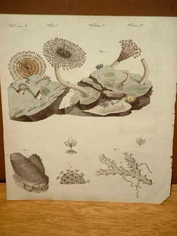 Zoophyten oder Thierpflanzen: Seeköcher - Finger-Alyconie -: Bertuch, Friedrich J.