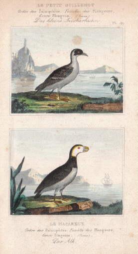 Das kleine Taucherhuhn - Der Alk. Zwei: Alken -