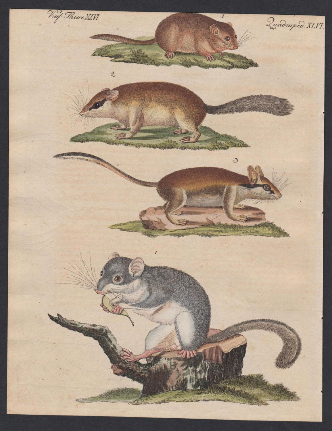 dormouse mouse mice Bilche Schläfer engraving antique