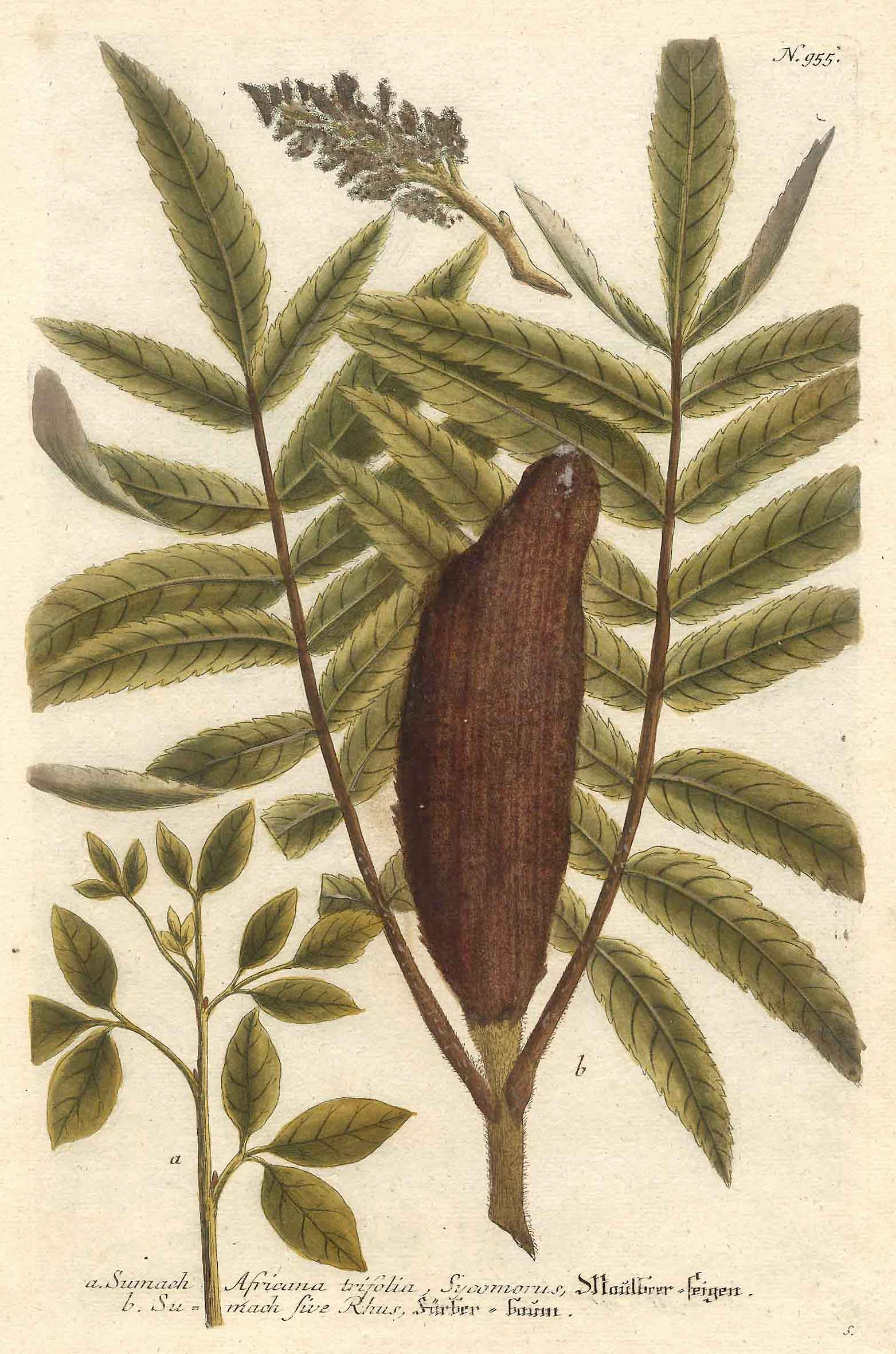 a) Sumach Africana trifolia, Sycomorus, Maulbeerbaum. -: HEILKRÄUTER: MAULBEERFEIGEN -
