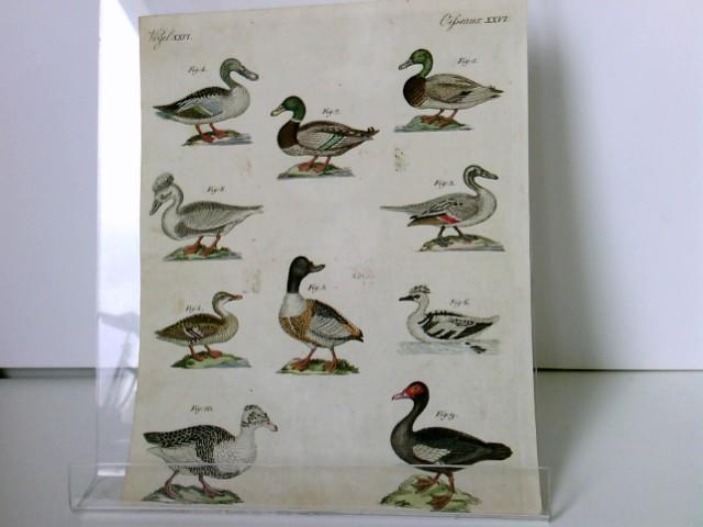 Enten verschiedener Art: Altkolorierter Kupferstich aus dem: Bertuch, Friedrich J: