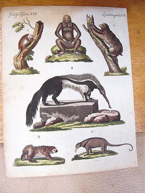 Quadruped XVI. Altkolorierter Kupferstich Faulthiere und Ameisenfresser: Bertuch, Friedrich J.