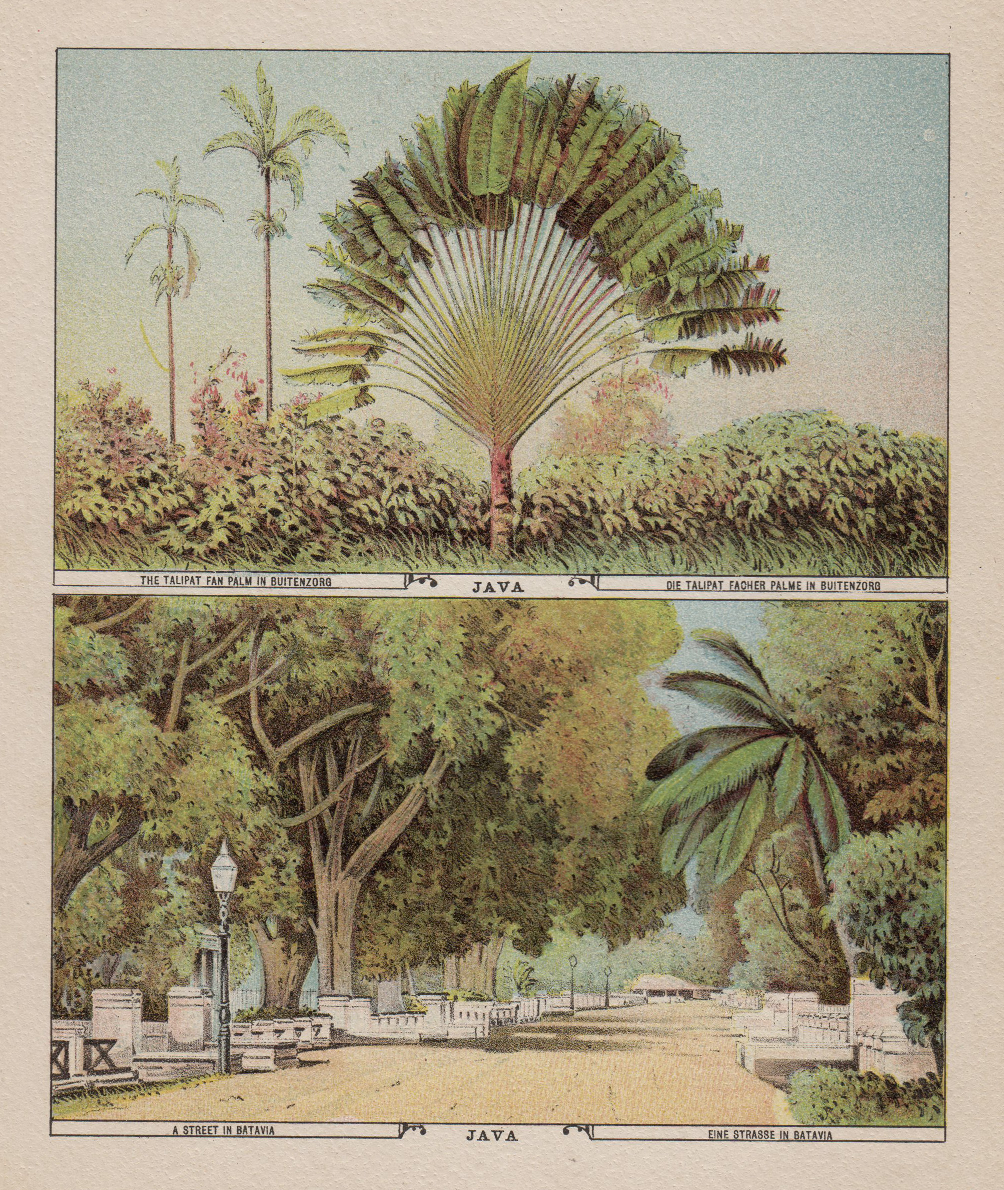 Die Talipat Fächer Palme in Buitenzorb -: Indonesien ( Indonesia