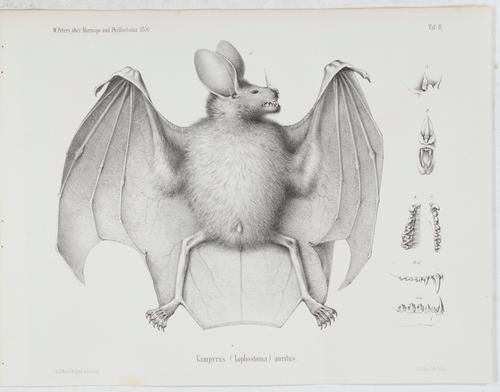 Über die Chiropterengattungen Mormops und Phyllostomas.: Peters, Wilhelm Carl