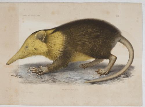 Über die Säugethiergattung Solenodon.: Peters, Wilhelm Carl