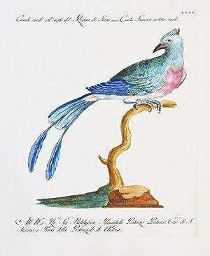 Bild des Verkäufers für Bird of Paradise]. Plate LXXV. Cucole verde col ciuffo del Regno di Siam. Cuculus Siamensis cristatus viridis. zum Verkauf von Shapero Rare Books