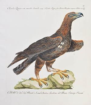 Bild des Verkäufers für Bird of Prey] Plate IV. Aquila Rapace con macchie bianche. Aquila Rapax, sive Naevia, Morphno congener Aldrov et Raj. zum Verkauf von Shapero Rare Books