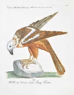Bild des Verkäufers für Bird of Prey] Plate XXXIV. Varieta dell' Antecedente. Antecedentis varietas pennis scilicet mutatis. zum Verkauf von Shapero Rare Books