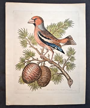 COCCOTHRAUSTES VULGARIS .- THE CEDAR OF LIBANUS