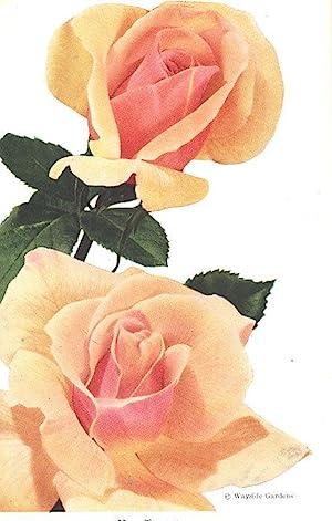 American Rose Annual, 1951. [The Rose: Twelve: William L Ayres