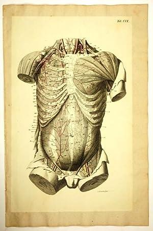 Anatomische Tafeln: Die innere Brustarterie (mammaria interna): Loder, Justus Christian