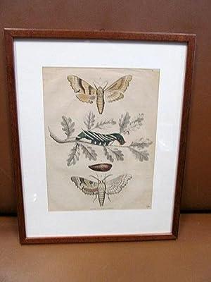 Motte - Raupe - Schmetterling. Altkolorierte Lithographie von 1844.