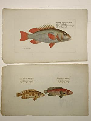 Fischtafel aus dem Werk: Systema ichthyologiae iconibus: Marcus Elieser Bloch: