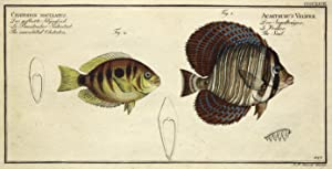 Chaetodon Maculatus - Der gefleckte Klippfisch - Le Bandoulier Kakaitsel - The mculated Chetodon&...