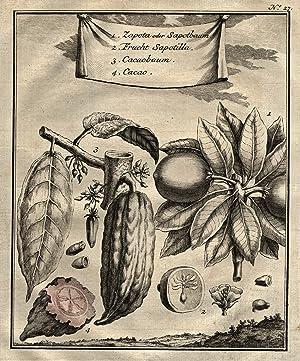 Darstellung der Zweige und Früchte.: PFLANZEN: KAKAOBOHNE und BREIAPFELBAUM: