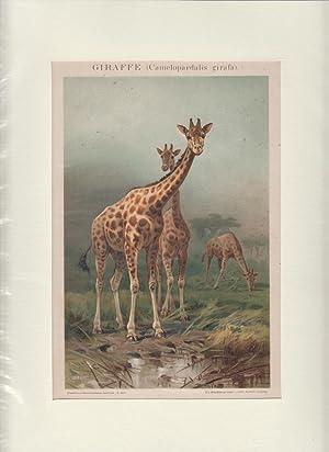 Orig. Chromolithographie Giraffe (Camelopardalis girafa)