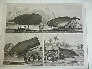 Orig. Holzstich - Säugetiere - I. Wale.