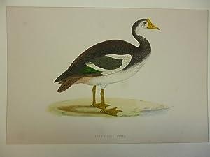Orig. kolorierter Holzstich - Schwäne/Gänse - Spur-winged Goose.