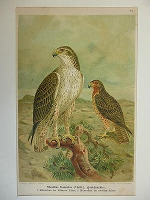 Orig. kolorierte Lithographie - Raubvögel - Nicaetus fasciatus, Habichtsadler.