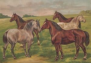 Orig. kolorierter Holzstich - Pferde - Dänisches pferd/ Belgier/ Holsteiner/ Pinzgauer/ Clydesdaler.