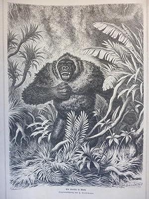 Orig. Holzstich - Menschenaffen - Ein Gorilla in Wuth.