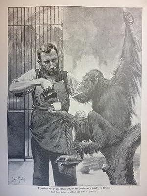 """Orig. Holzstich - Menschenaffen - Vesperbrot des Orang-Utan """"Rolf"""" im zoologischen Garten ..."""