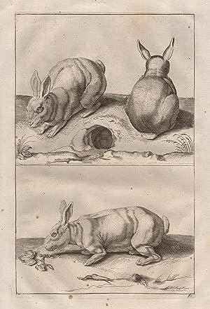 Hase Feldhase Hasen - rabbit rabbits brown hare: Original Kupferstich: