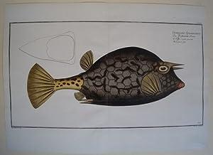 Das Vierstachelichte Dreieck.Fische Poissons Fishes Pesci. Ostracion: Bloch, Marcus Elieser: