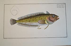 Blennious Superciliosus.Der Augenwimper. Le Percepierre de L`Jnde.: Bloch, Marcus Elieser: