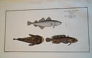 Der Zwergdorsch.Fische Poissons Fishes Pesci . Gadus: Bloch, Marcus Elieser: