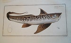 Bloch: Die Seeratze. Altkolorierter Original Kupferstich 1782.Chimaera: Bloch, Marcus Elieser: