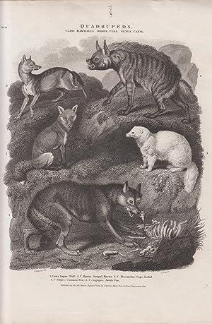 Orig. Kupferstich: Quadrupeds. v. J. Scott ( Wolf , Fuchs u.a. ) Class Mammalia, Order ferae, Genus...