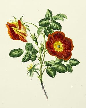 Die Rosen nach der Natur gezeichnet und colorirt mit kurzen botanischen Bestimmungen begleitet. Les...