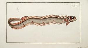 Cepola Taenia. The Band Fish. Plate CLXX.: BLOCH, Marcus; KRÜGER