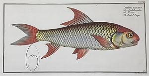 Cyprinus falcatus / Der Sichelkarpfen / La: FISCHE / CYPRINUS