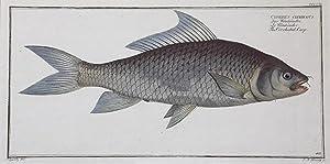 Cyprinus cirrhosus / Der Wönköndei / Le: FISCHE / CYPRINUS