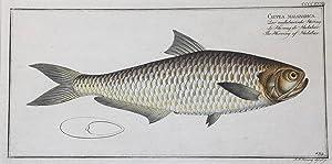 Clupea malabarica / Der malabarische Hering /: FISCHE / CLUPEA