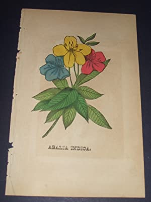 Azalia Indica Original Hand Colored Botanical Engraving: D. Newell (editor)