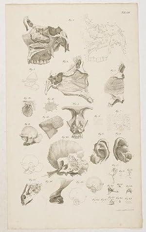 Anatomische Tafeln: Sinnes-Werkzeuge: Die Nase . und: Loder, Justus Christian
