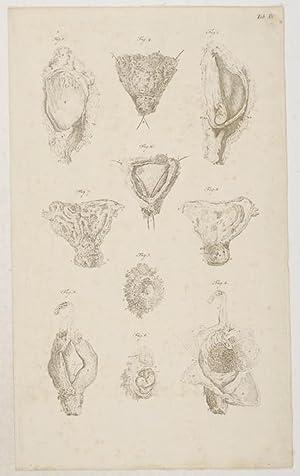 Anatomische Tafeln: Eine durch den Abortus etwa: Loder, Justus Christian