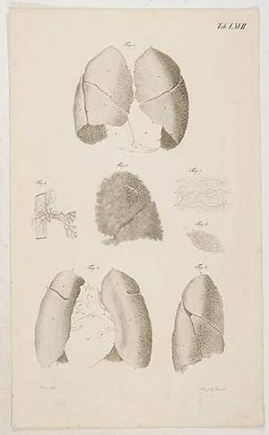Anatomische Tafeln: Die Lungen aus der Leiche: Loder, Justus Christian